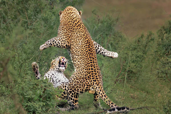 Feline Photograph - Leopard Mating by Yun Wang