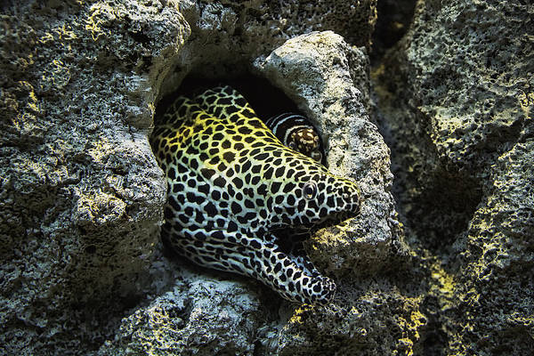 Eels Photograph - Leopard Moray Eel  by Garry Gay