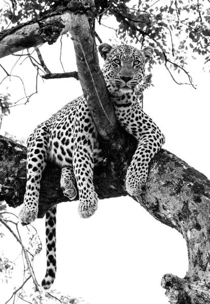 Branch Photograph - Leopard - Panthera Pardus. Leopard Will by Peter Van Der Byl