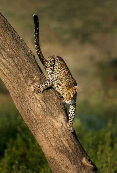 Panthera Pardus Photograph - Leopard Panthera Pardus On Tree, Ndutu by Panoramic Images