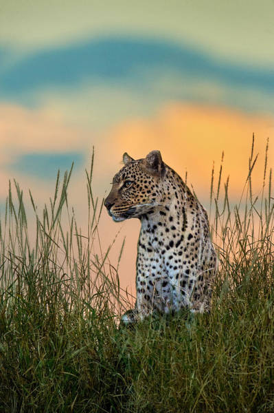 Panthera Pardus Photograph - Leopard Panthera Pardus, Serengeti by Panoramic Images