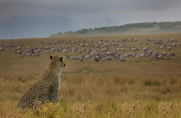 Wall Art - Photograph - Leopard Panthera Pardus Watching Zebras by Buena Vista Images