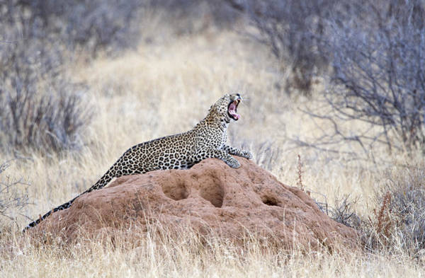Panthera Pardus Photograph - Leopard Panthera Pardus Yawning by Panoramic Images