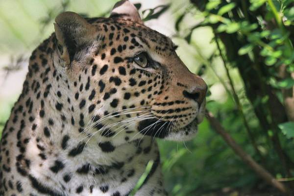 Photograph - Leopard Portrait by Dan Sproul
