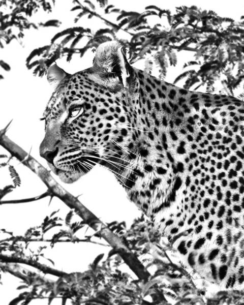 Photograph - Leopard Portrait by Gigi Ebert