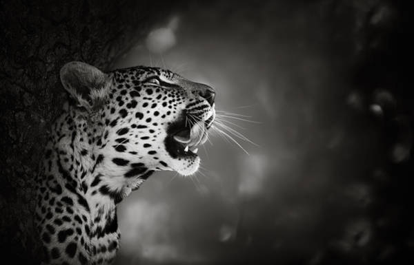Tooth Photograph - Leopard Portrait by Johan Swanepoel