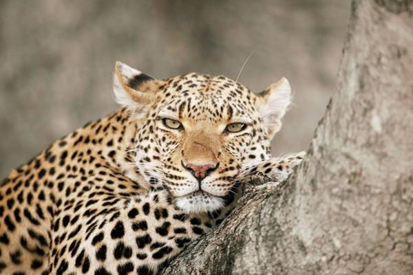 Panthera Pardus Photograph - Leopard Resting In A Tree by Dr P. Marazzi/science Photo Library