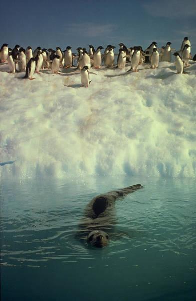 Wall Art - Photograph - Leopard Seal And Penguins by Robert Hernandez