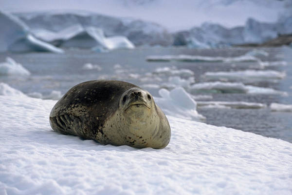 Laying Out Photograph - Leopard Seal Laying On Ice Pack by Tom Soucek
