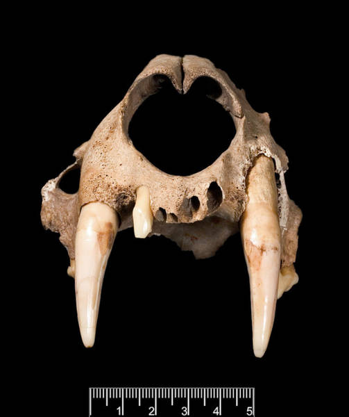 Panthera Pardus Photograph - Leopard Skull by Natural History Museum, London/science Photo Library