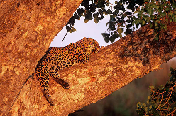 Panthera Pardus Photograph - Leopard Sleeping by Dr P. Marazzi/science Photo Library