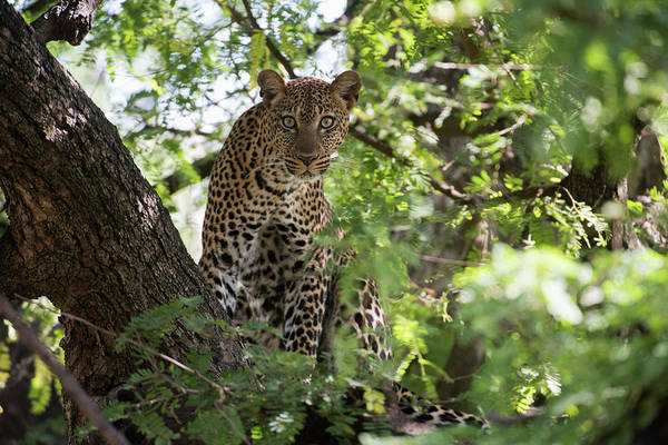 Wall Art - Photograph - Leopard Staring From Tree In Lake by Kenneth Whitten