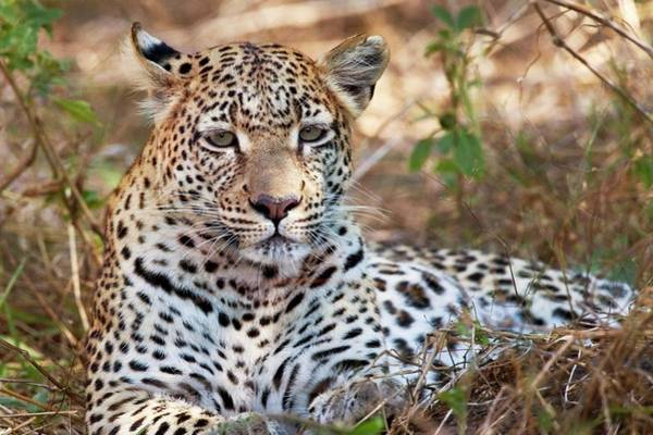 Panthera Pardus Photograph - Leopard by Steve Allen/science Photo Library