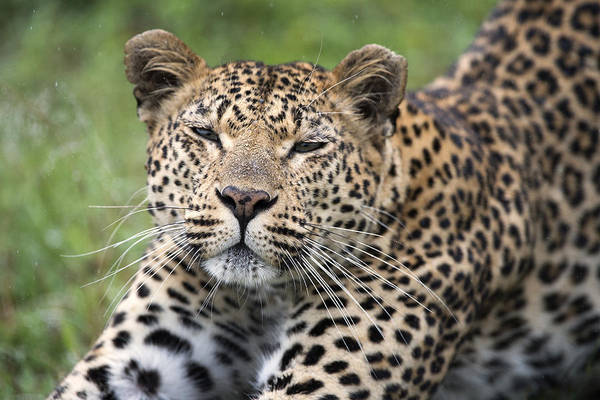Felidae Wall Art - Photograph - Leopard Stretching Sabi-sands Game by Sergey Gorshkov
