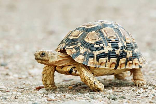 Tortoise Shell Photograph - Leopard Tortoise by Peter Chadwick/science Photo Library