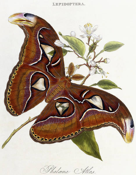 Butter Painting - Lepidoptera by Edward Donovan