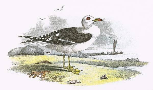 Wall Art - Painting - Lesser Black Backed Gull by English School