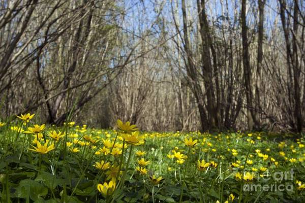 Coppice Photograph - Lesser Celandine In A Coppice Wood by Simon Booth