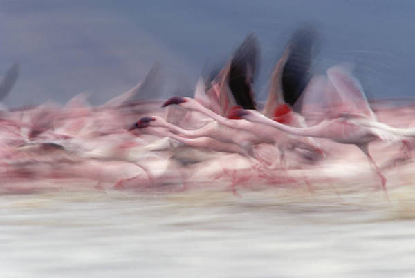 Photograph - Lesser Flamingo Phoenicopterus Minor by Tim Fitzharris