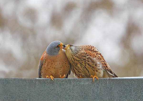 Kissing Photograph - Lesser Kestrel , Kiss.. by Shlomo Waldmann