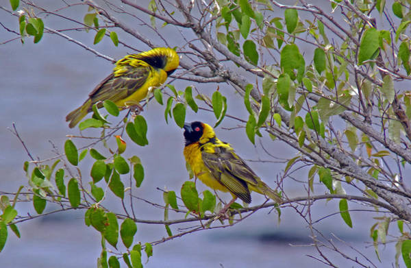 Photograph - Lesser Masked Weaver by Tony Murtagh