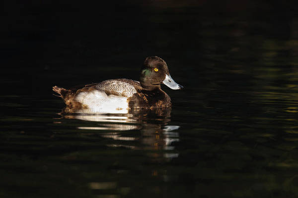 New Braunfels Photograph - Lesser Scaup (aythya Affinis by Larry Ditto