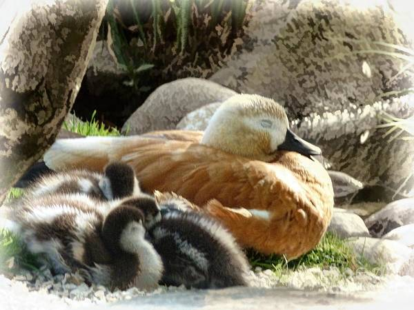 Photograph - Let Sleeping Ducks Lie by Julia Springer