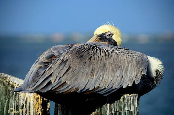 Photograph - Let Sleeping Pelicans Lie by Susan Molnar