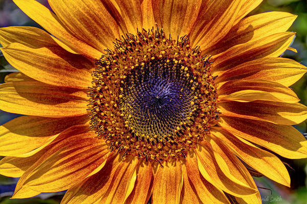 Sunflower Seeds Photograph - Let The Sun Shine In by Heidi Smith