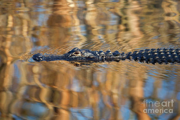 Gator Wall Art - Photograph - Lethal Glide by Mike  Dawson