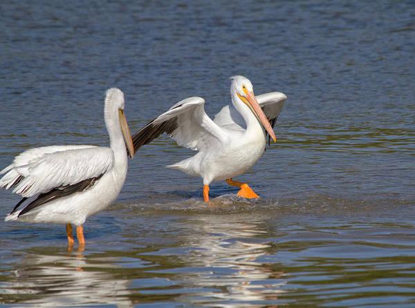 White Pelican Photograph - Let's Dance by Kim Hojnacki