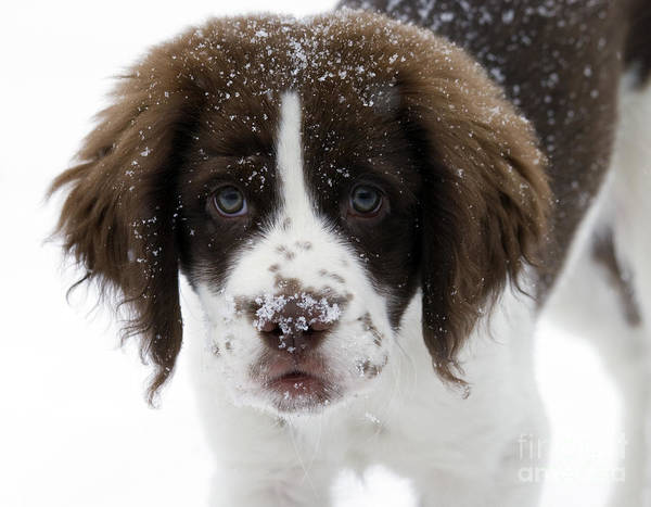 Springer Spaniel Photograph - Lets Play by Mike  Dawson