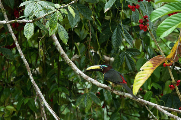 Ecuador Photograph - Lettered Aracari (pteroglossus by Pete Oxford