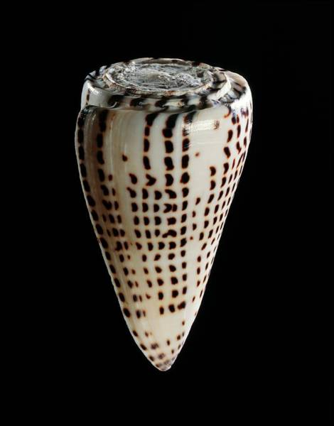 Zoological Photograph - Lettered Cone Shell by Gilles Mermet