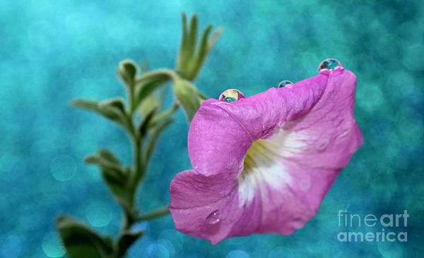 Petunias Photograph - Letting Go by Krissy Katsimbras