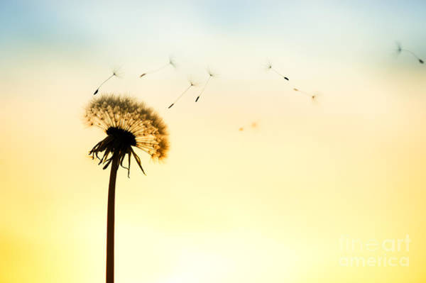 Taraxacum Photograph - Letting Go by Tim Gainey