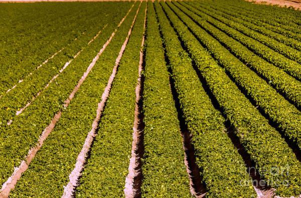 Yuma Photograph - Lettuce Farming by Robert Bales