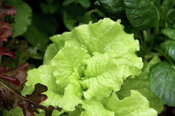 Leaf Photograph - Lettuce Growing In The Garden by 2ndlookgraphics