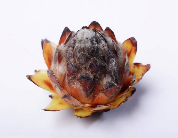 Proteaceae Photograph - Leucadendron Album Opening Seed Head by Cordelia Molloy