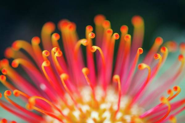 Anther Wall Art - Photograph - Leucospermum Pincushion Flower by Peter Chadwick