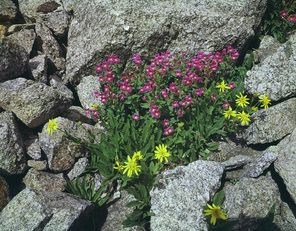 Photograph - 209615-b-lewis Monkeyflower And Heartleaf Arnica by Ed  Cooper Photography