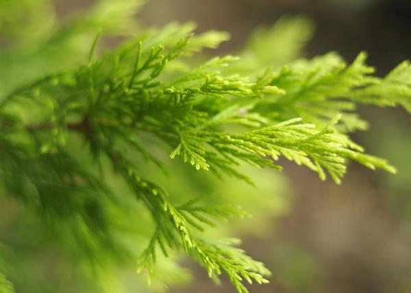 Chartreuse Photograph - Leyland Cypress Golconda by Rebecca Sherman
