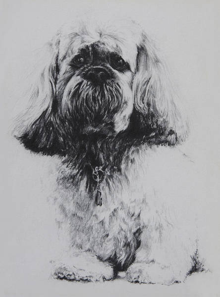 Attitude Drawing - Lhasa Apso by Rachel Christine Nowicki