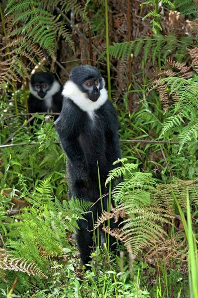 Trapping Photograph - L'hoest's Monkey by Tony Camacho/science Photo Library