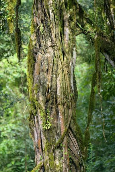 Climbing Plants Photograph - Lianas And Moss On A Tree Trunk by Philippe Psaila/science Photo Library