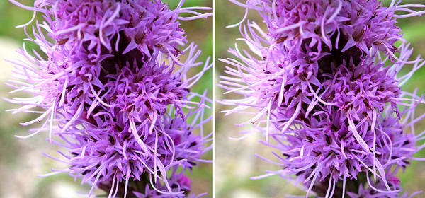 Photograph - Liatris Flowers In Stereo by Duane McCullough