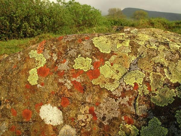 Pollution Photograph - Lichen Growing On Rock In Unpolluted Air by Cordelia Molloy