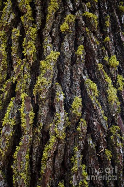 Photograph - Lichen On Pine Bark by Charmian Vistaunet