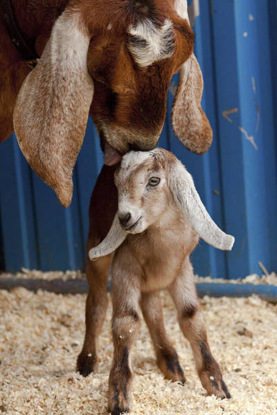Goats Photograph - Licked Clean by Caitlyn  Grasso