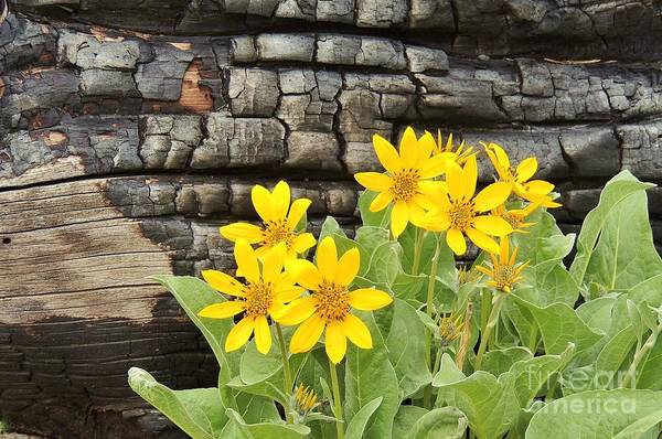 Balsamorhiza Sagittata Photograph - Life After Fire by Michele Penner